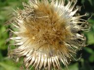 Pripomína obyčajný bodliak, jej účinky sú takmer zázračné: Legendárny všeliek z hôr